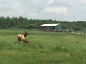 Elk on the farm
